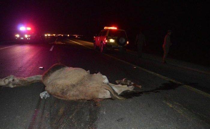 إصابة 6 معتمرين أردنيين بتصادم حافلتهم بجمال سعودية