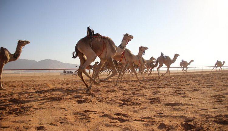 انطلاق فعاليات اليوم الأول من مهرجان الشيخ زايد للهجن الثاني عشر بوادي رم